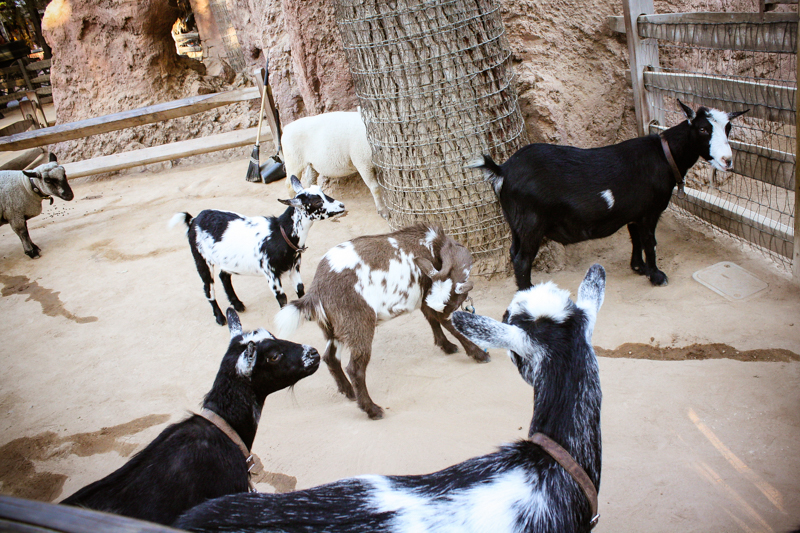 Goats of Disneyland - Enchanted Type