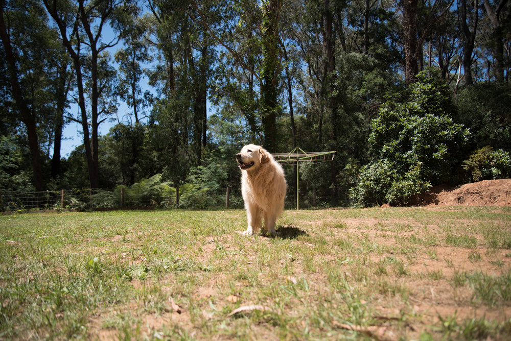 GoldenRetrieverMelbourne.jpg