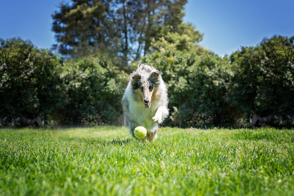 evmpetphotography_collie.jpg