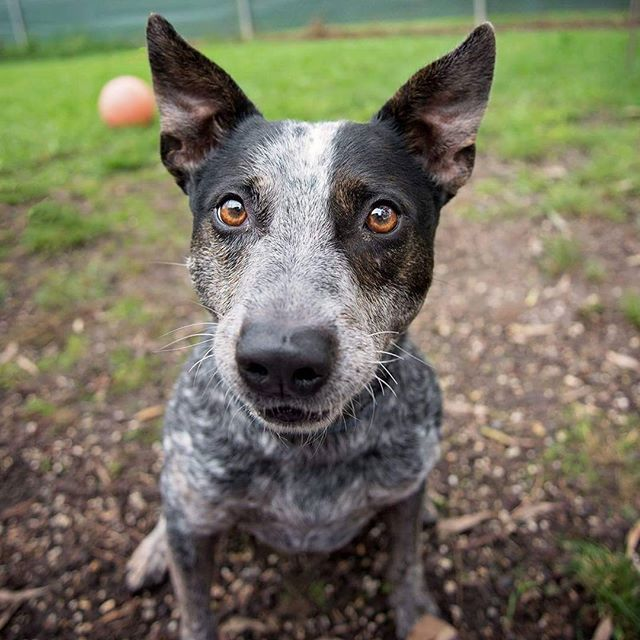 Harry is a 4 year old Blue Heeler and he's looking for his furever home!! If you'd like to know more about Harry head over to www.animalaid.org.au 😊 #adoptme #blueheeler #adoptadog #savealife #adoptionrocks #Melbourne #yarravalley #HeARTsSpeak #ValleyDogs #dogsofinstagram #dogsofmelbourne #instadog #thoseeyes #AnimalAid #Coldstream #petphotography #dogphotography #evmphotography