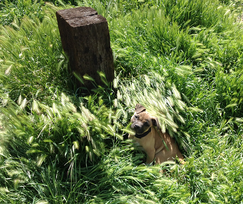 garden-prep-puppy-mike