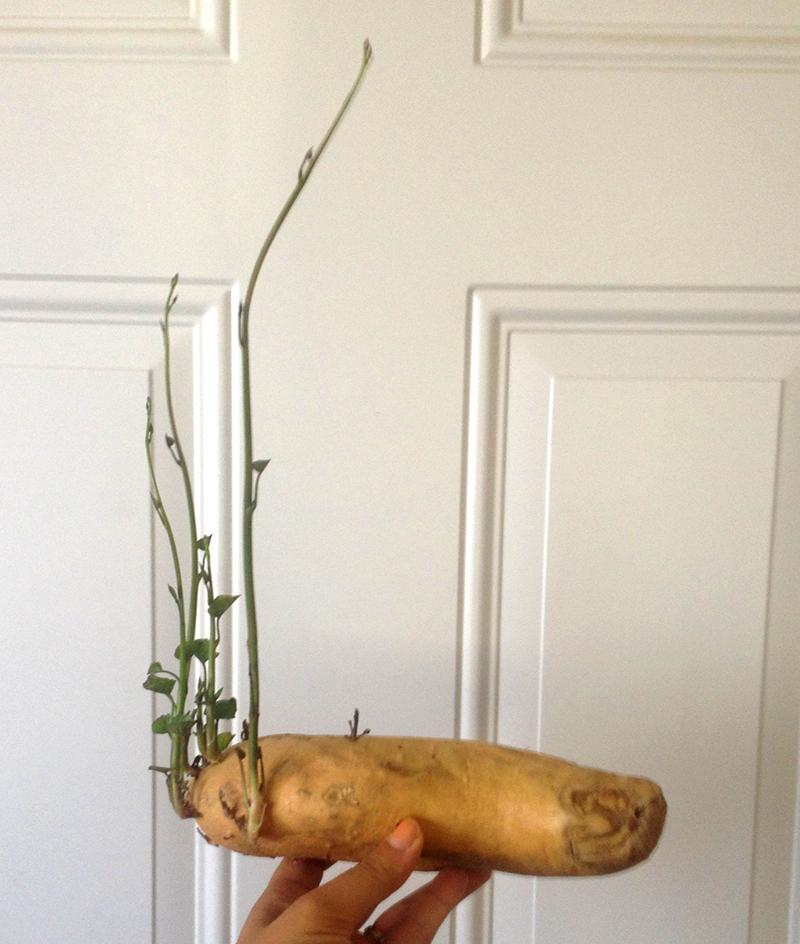 sproutedpotato