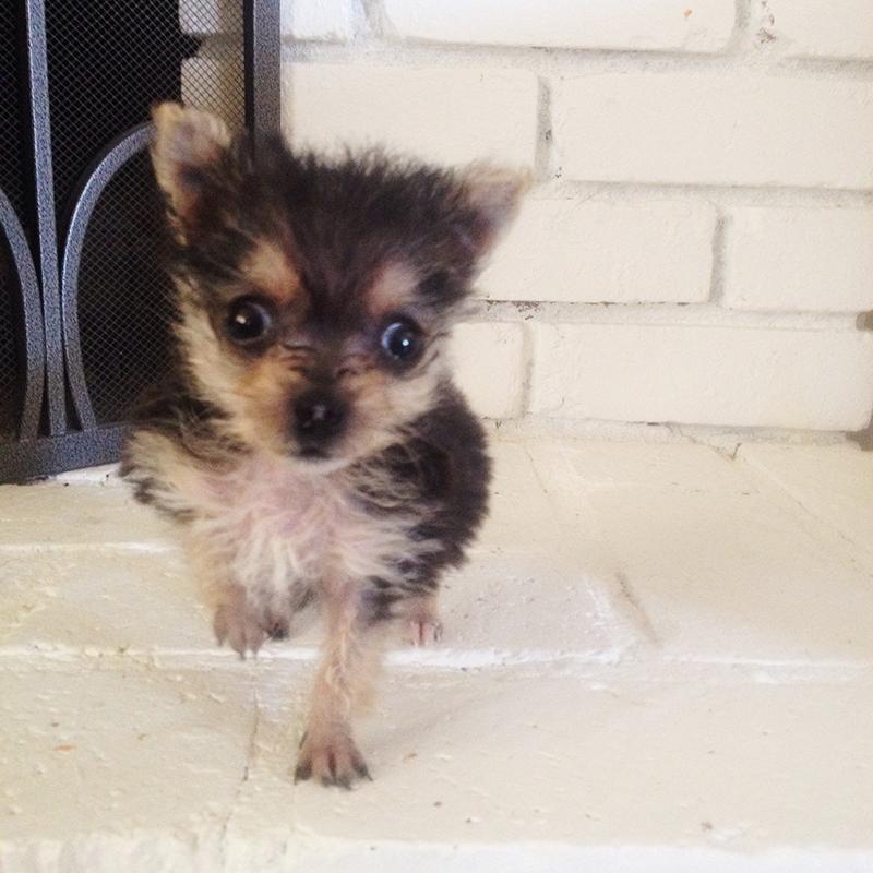 venice-hydrocephalus-yorkie-puppy