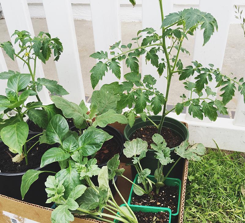VegetablePlants