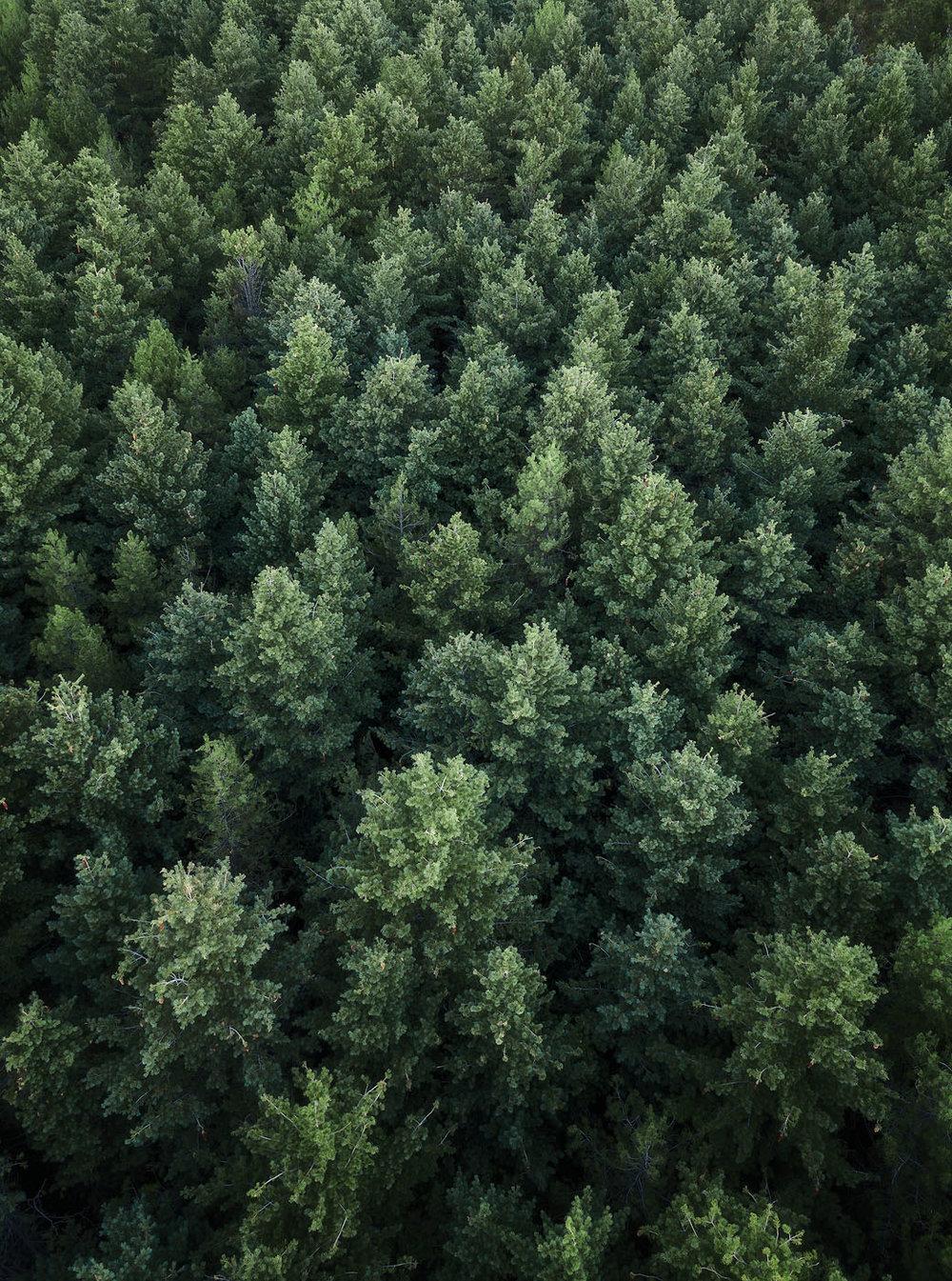 Sugar-Pine-Walk-Laurel-Hill-Drone-Aerial.jpg