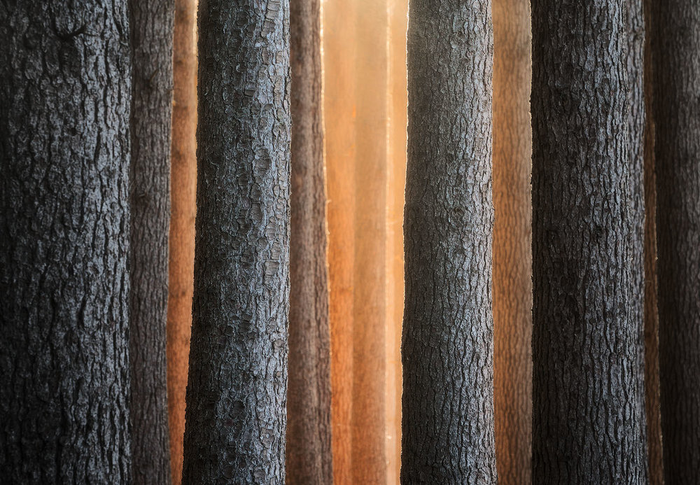 Sugar-Pine-Walk-Sunrise-Laurel-Hill.jpg