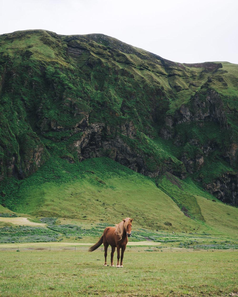 Iceland-Horse-Landscape-Vik.jpg
