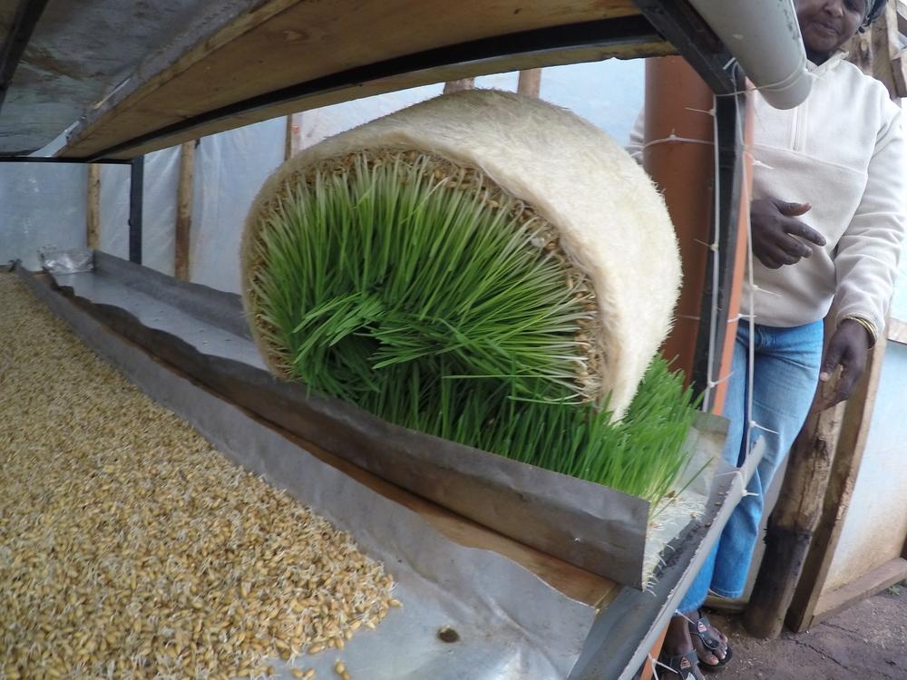 harvested fodder