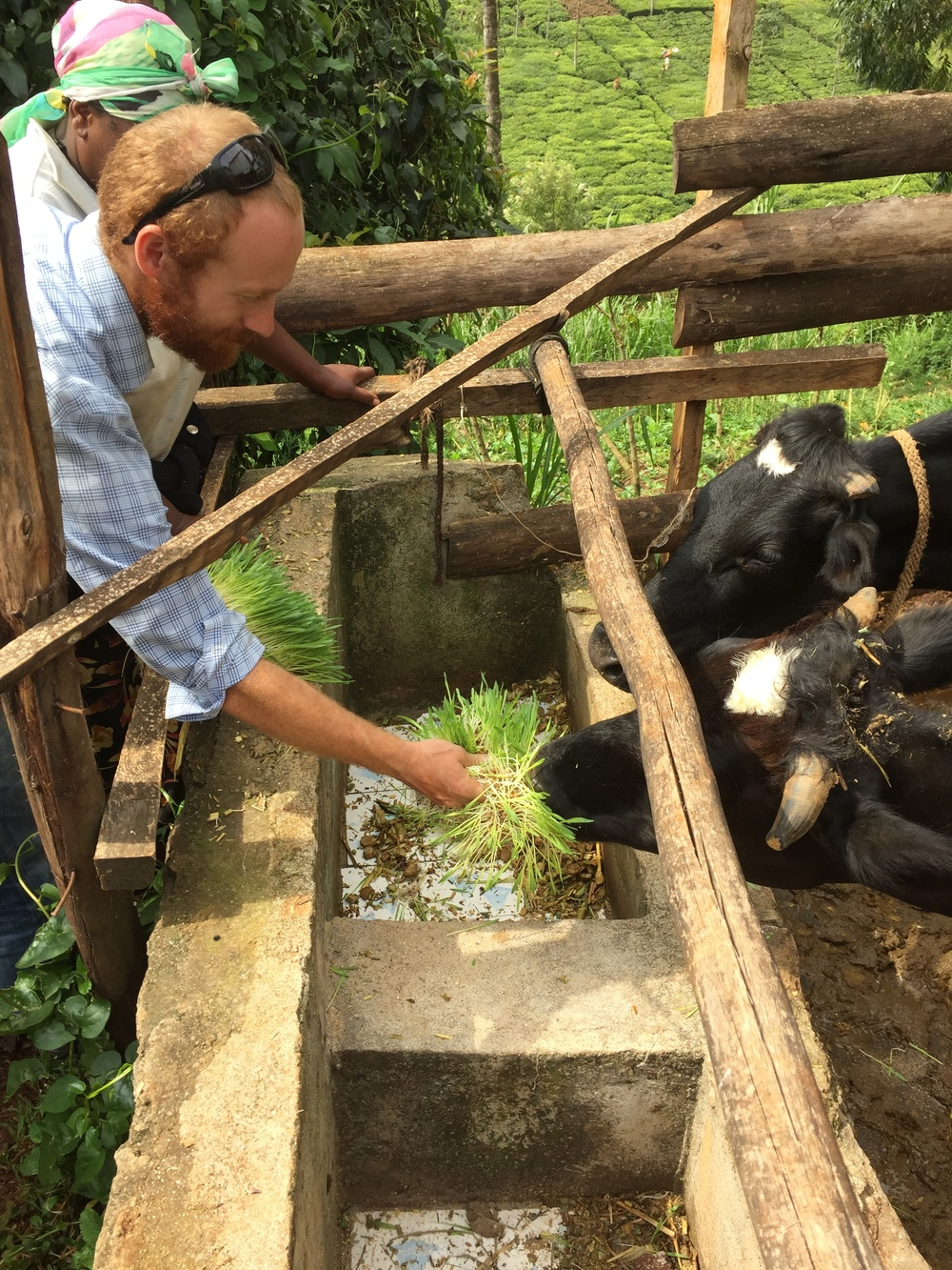 Graham, feeding some of the newly formulated complete solution to Bebe Ya Francis' cows