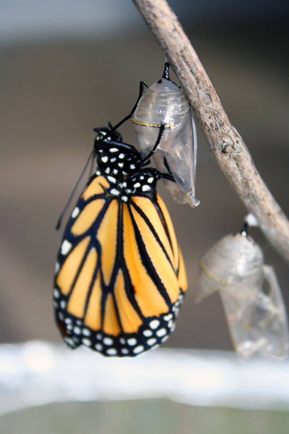MonarchHatching