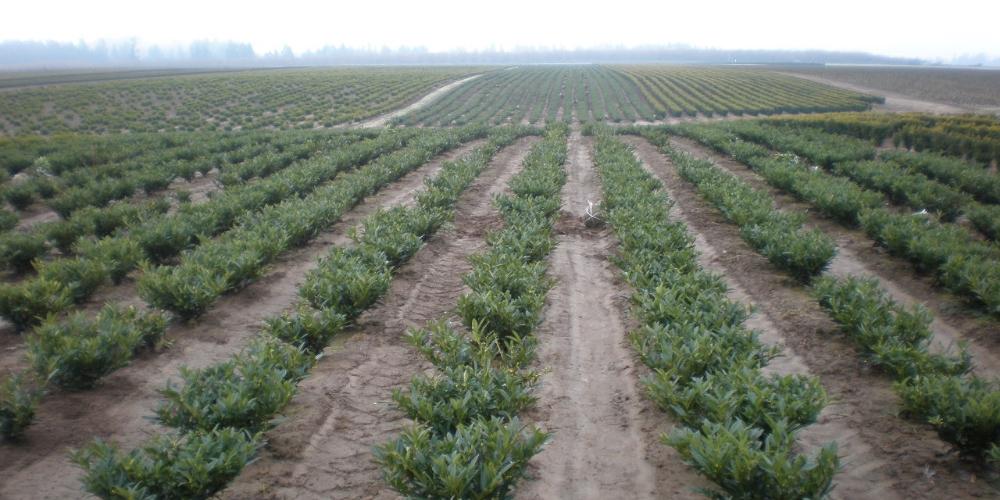 Prunus Otto Broad Field Shot.jpg