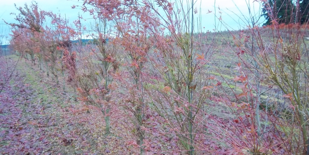 Acer Butterfly 5-6'
