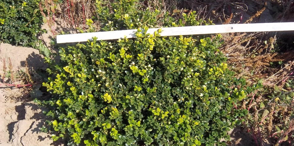 Buxus Green Beauty