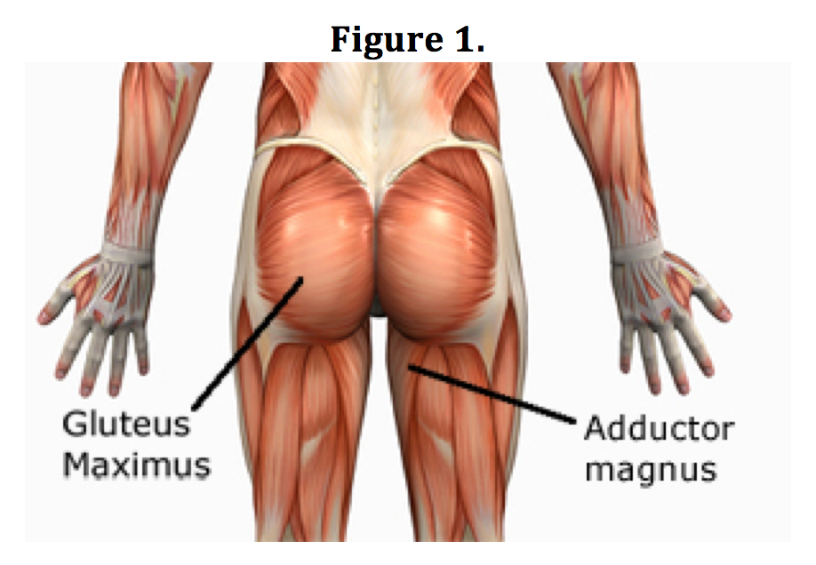 Diagram Of The Gluteus Maximus Trusted Wiring Diagram