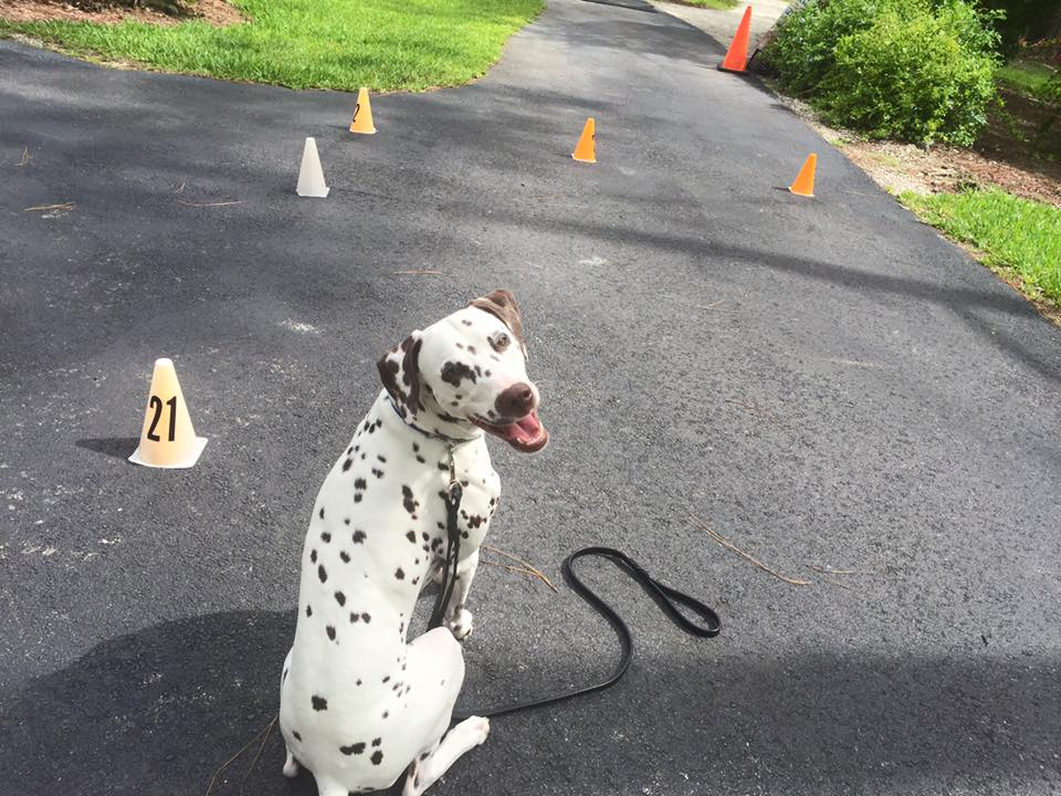 Settler working on the walking pattern at home which will present itself on the CGC test. The dog must walk on a loose leash and keep focused and engaged with the handler.