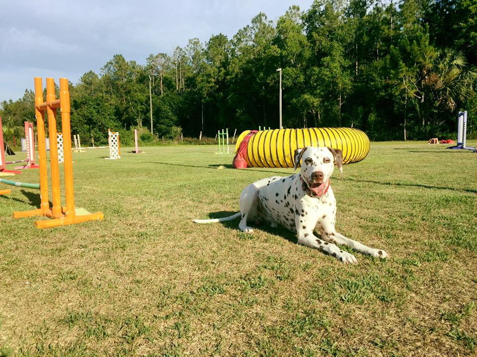 Settler after an agility lesson at Sun Coast Agility with Chris Tucci in Naples, FL.