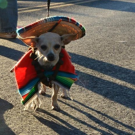 Costumed Chihuahua