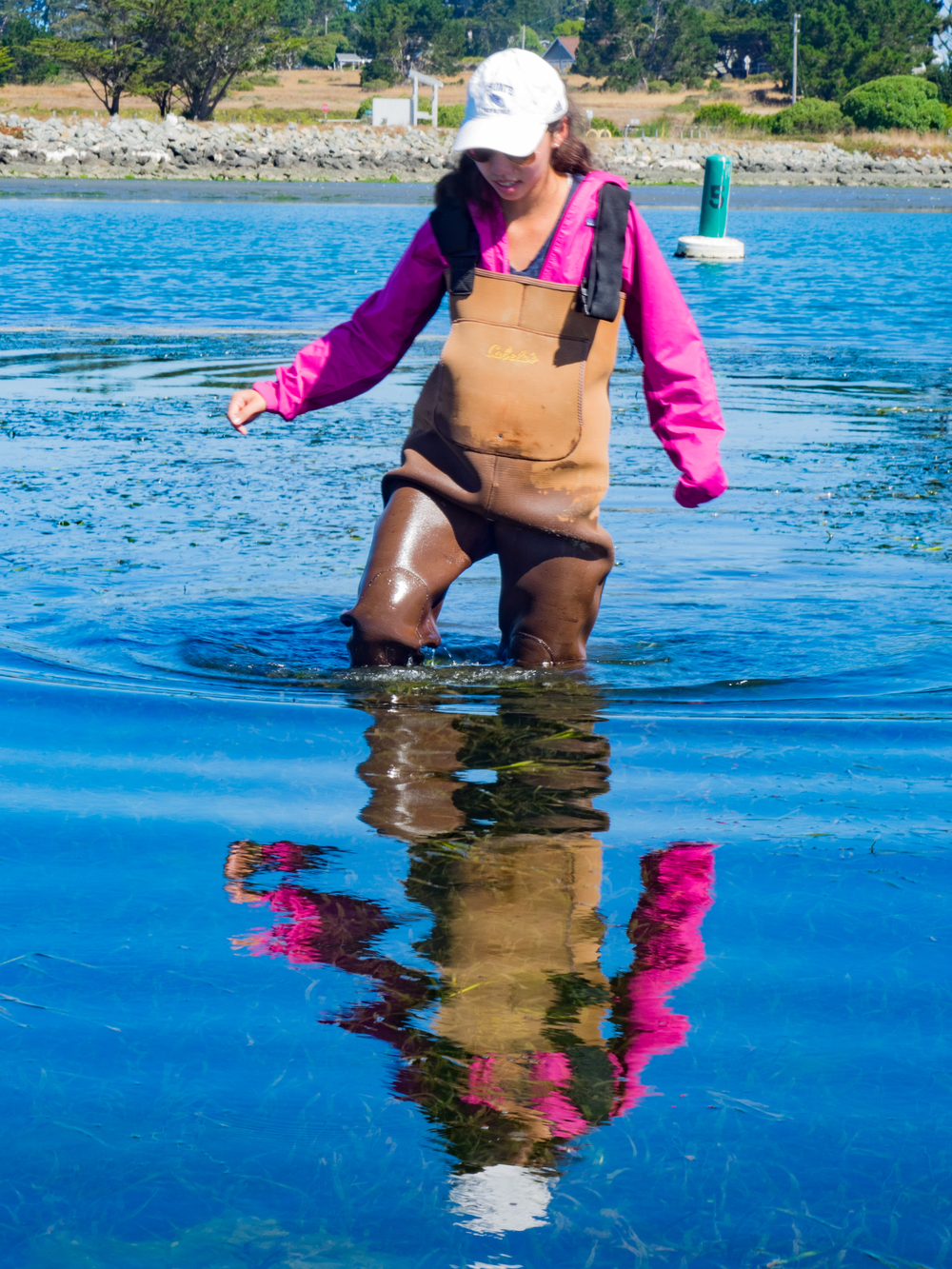 Grace sampling in seagrass beds, Bodega Harbor, CA. Photo credit: A. Ninokawa