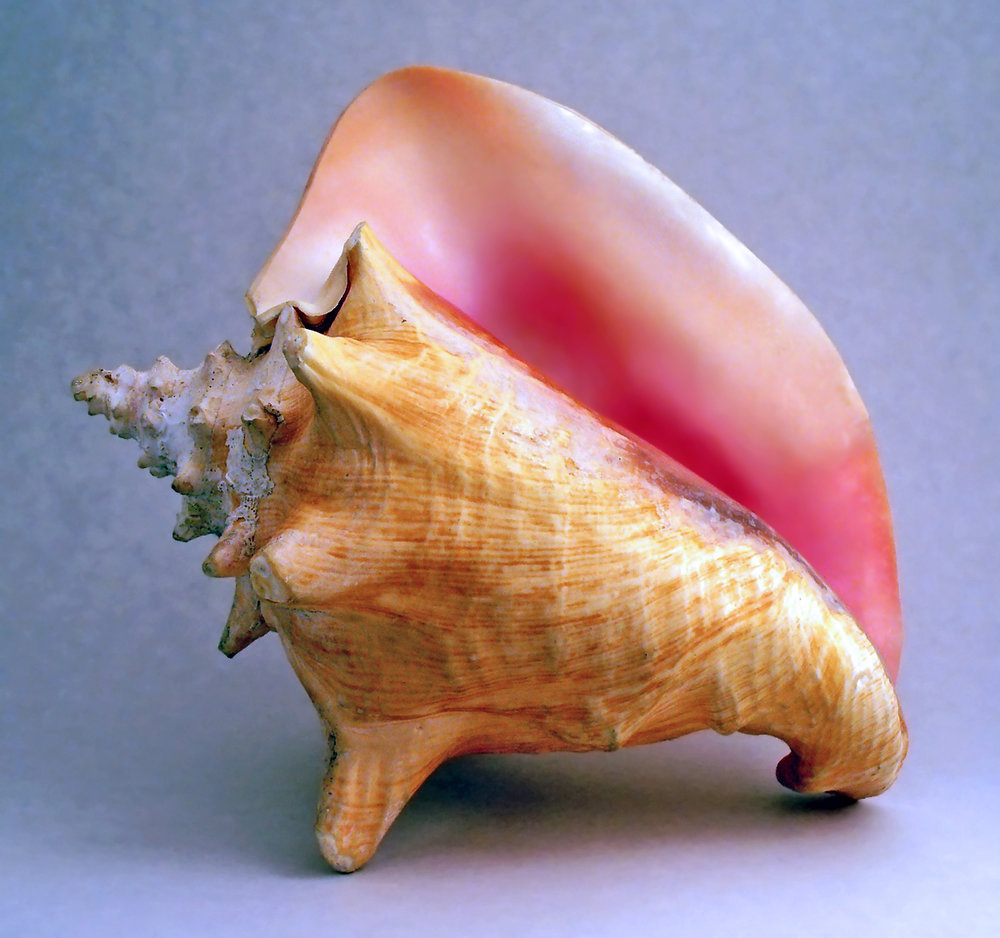 Conch snail, Wikimedia Commons