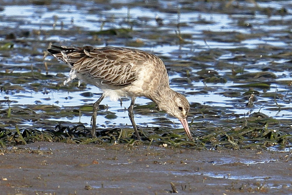 A Godwit feeding within a seagrass meadow. Photo: Wikimedia Commons