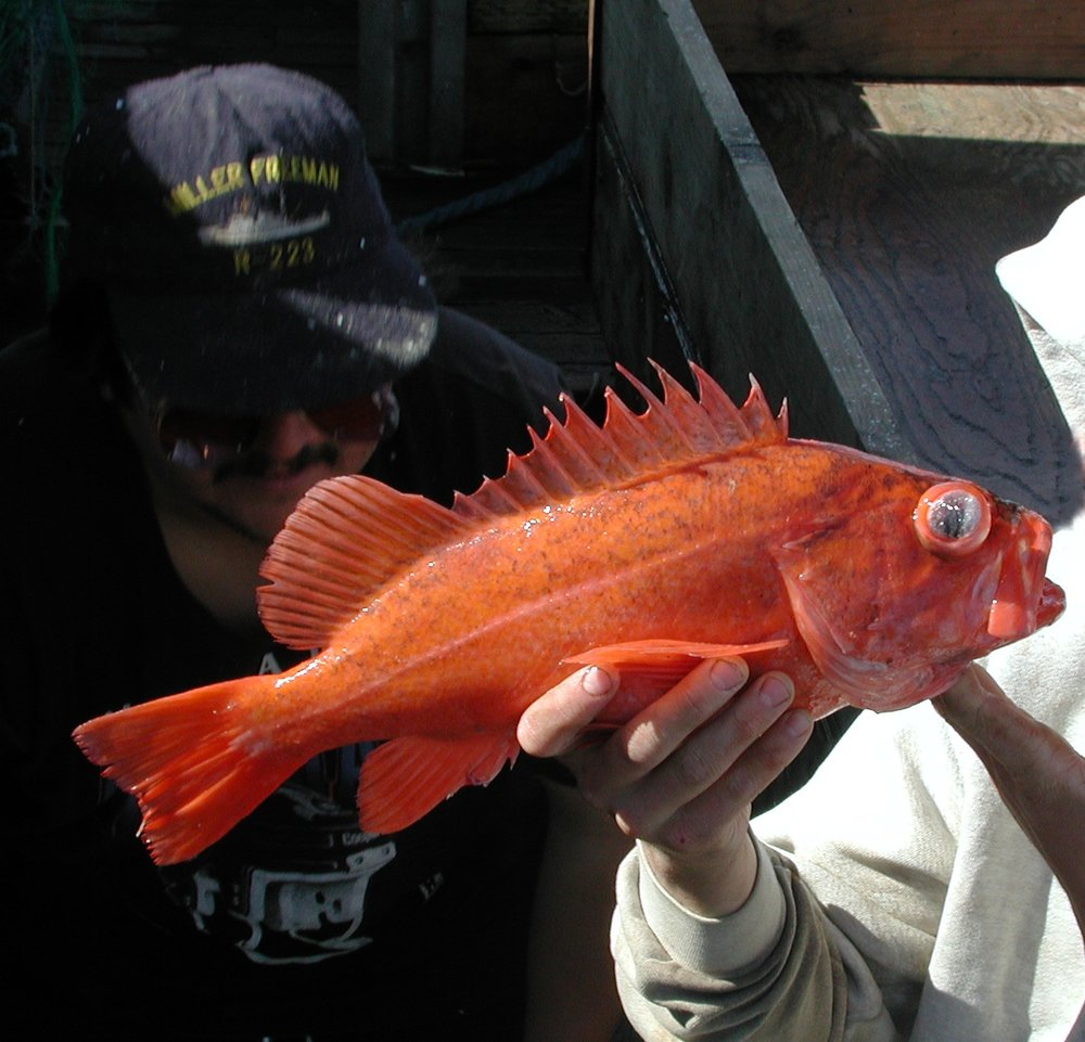 Rockfish. Photo: Wikimedia commons