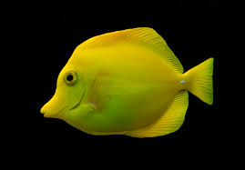 The Hawaiian Yellow Tang. Photo: Wikipedia