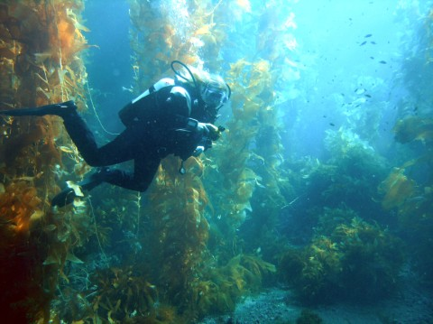 Kelp Forest: Wikipedia