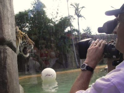 My camerman shooting a tiger at the Australia Zoo