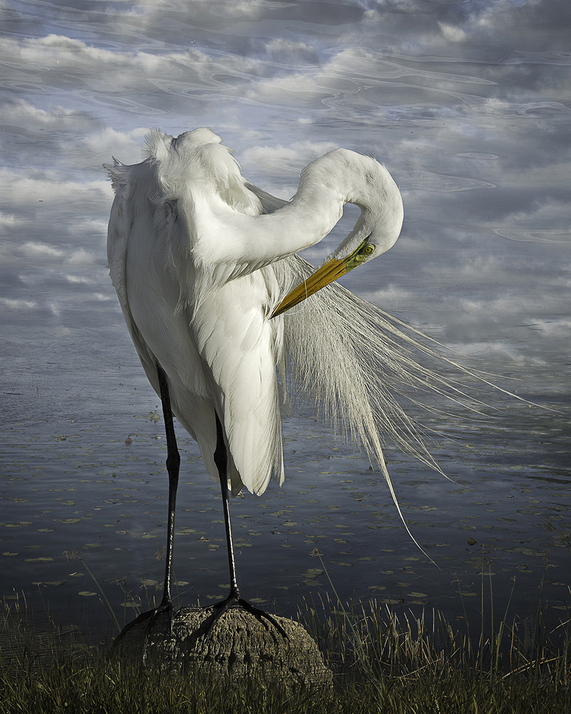 great egret preening  ©2014