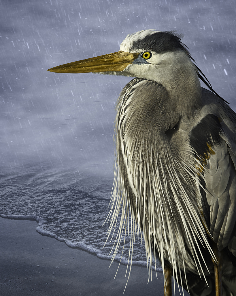 great blue in the rain  ©2014