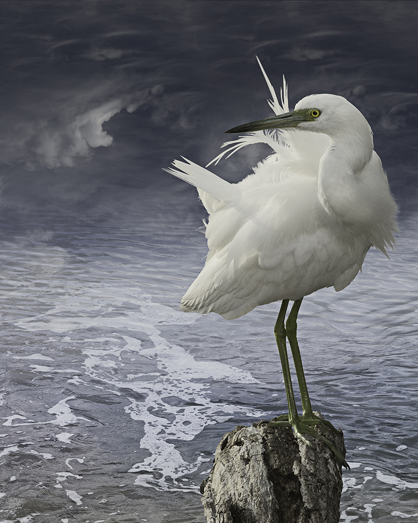 juvenile little blue heron  ©2014