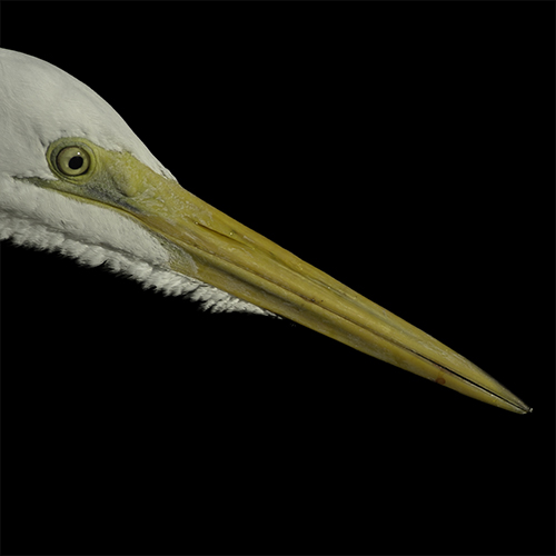 great egret beak_noncolor.jpg