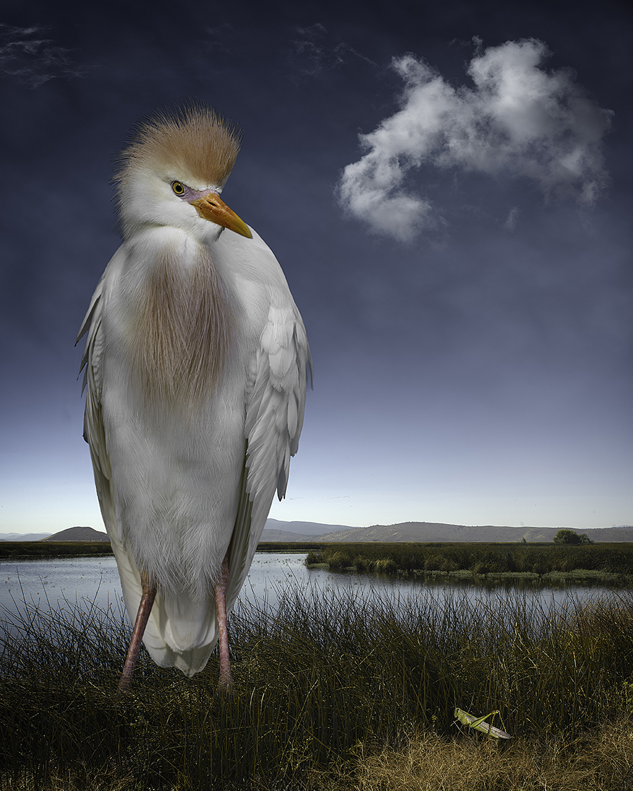 cattle egret and the grasshopper