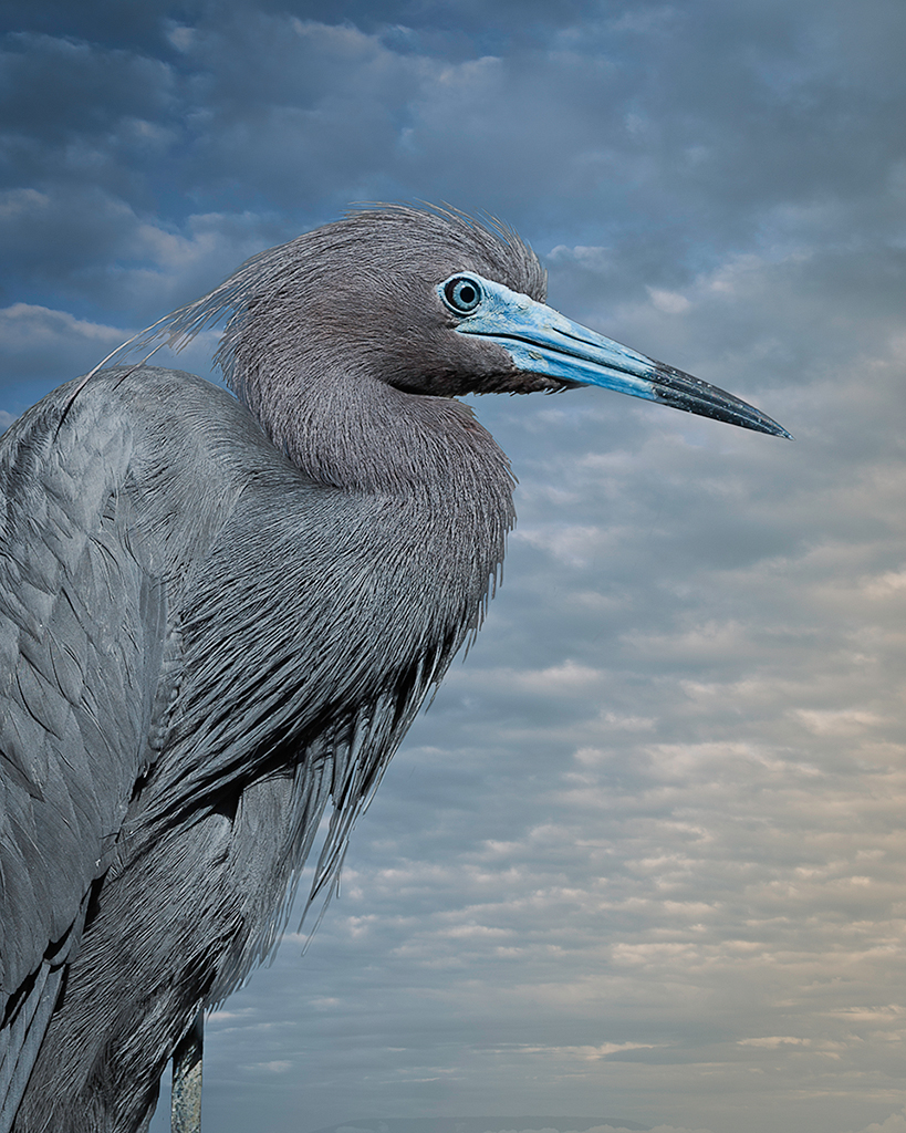 little blue heron blue  ©2014