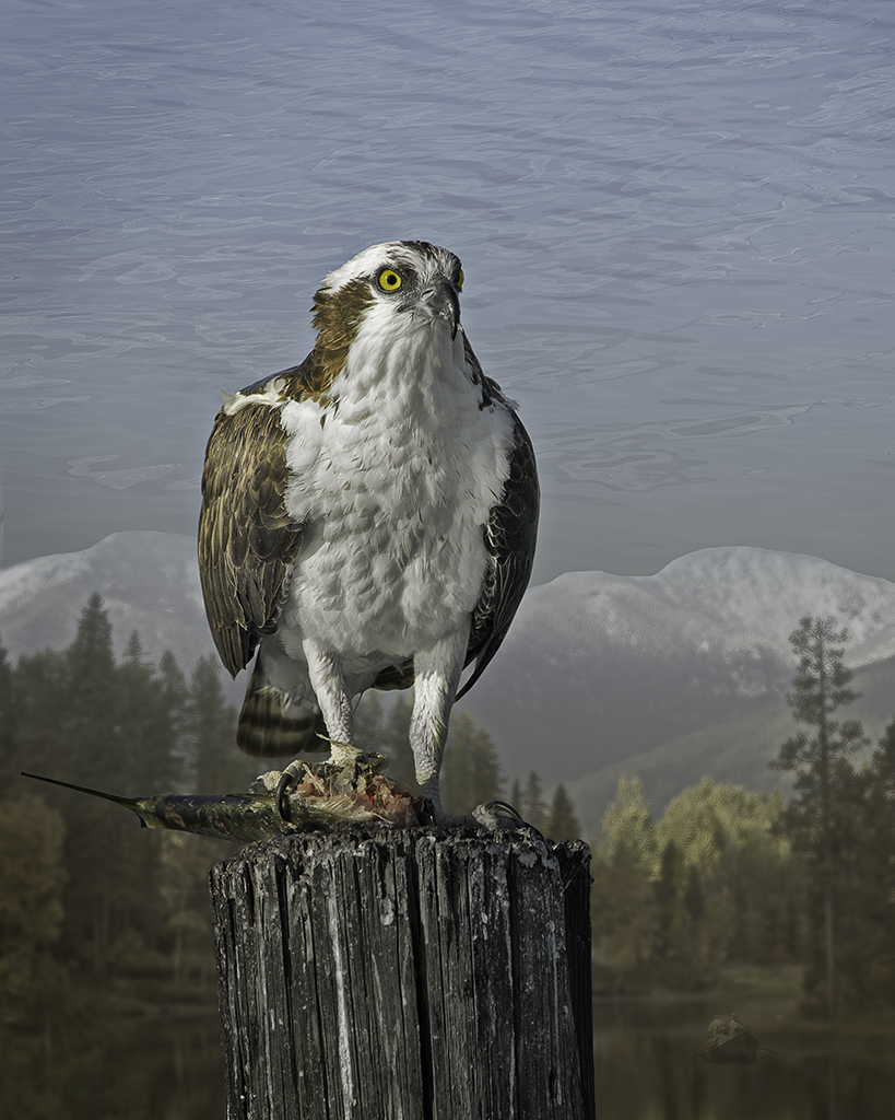 osprey  ©2013