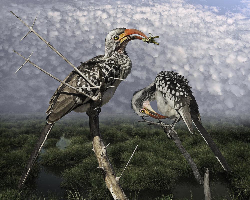 red-billed hornbill with grasshopper  ©2016