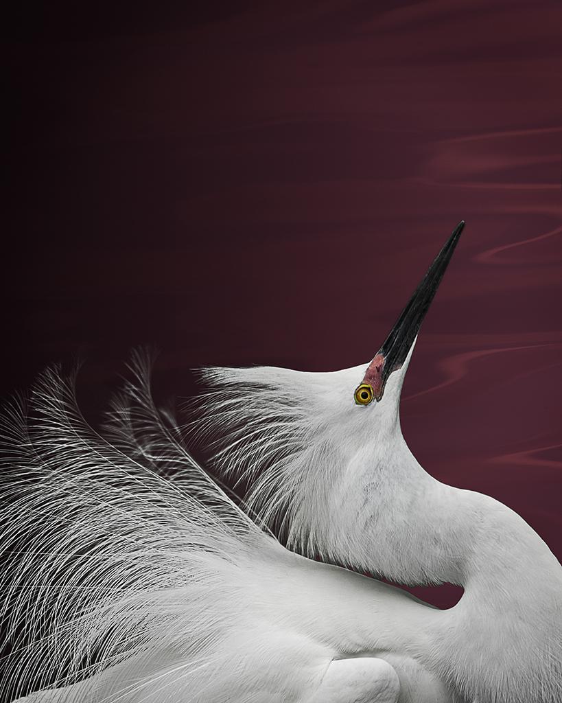 snowy egret   ©2014