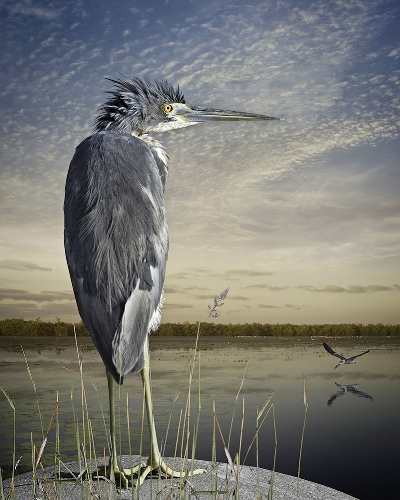 The Corden Potts Gallery in San Francisco chose Tri-Colored Heron And Skimmer to be included in 2017 CPA Members' Juried Exhibition starting July 22, 2017