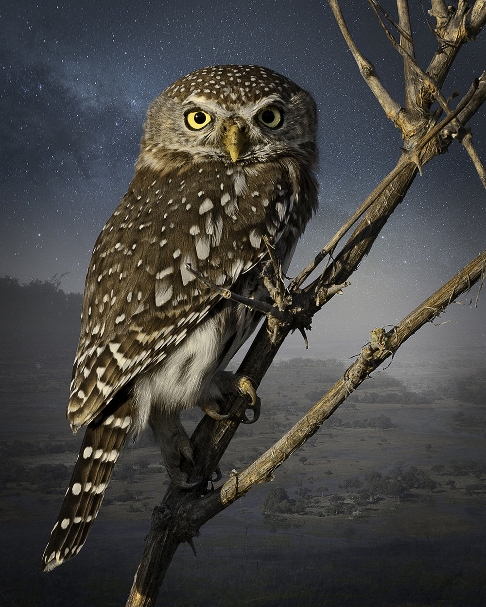 4. Spotted Owlet