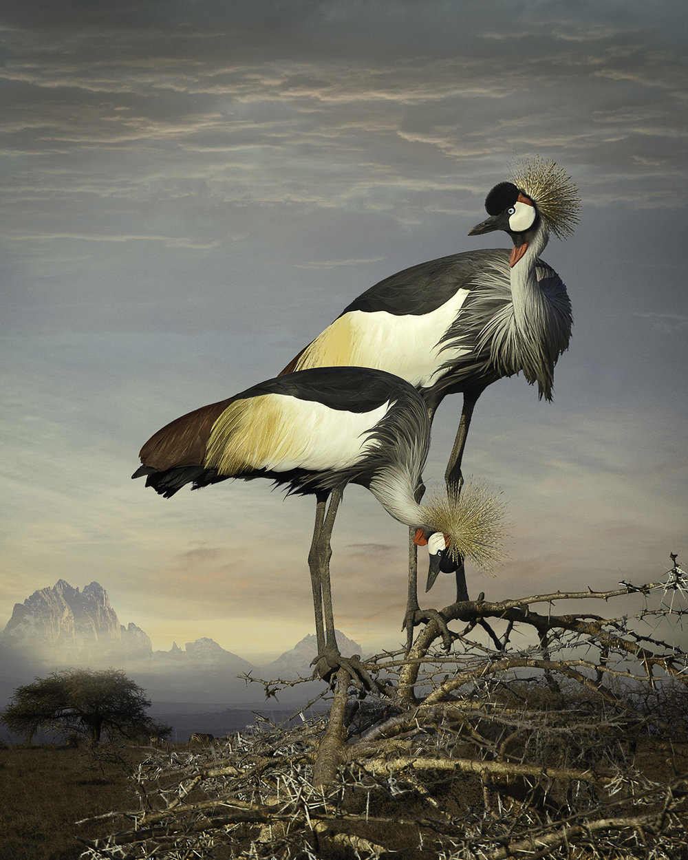 6. Grey Crowned Cranes