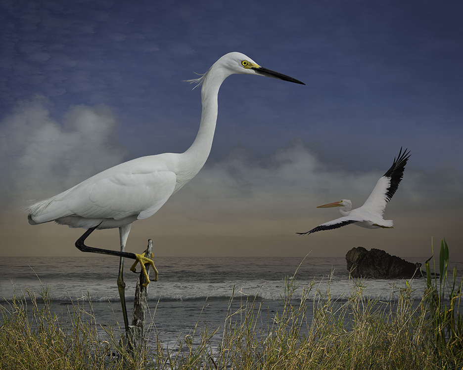 snowy egret and a pelican  ©2017