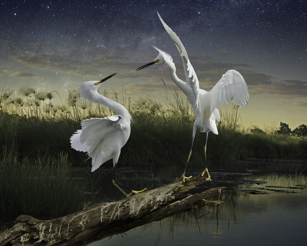 snowy egrets ©2016