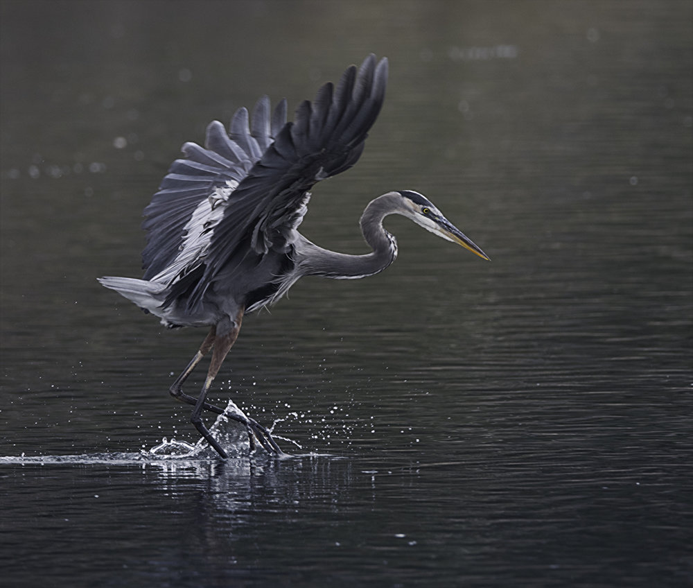 Great Blue Heron  skipping across the water at the Goleta Slough