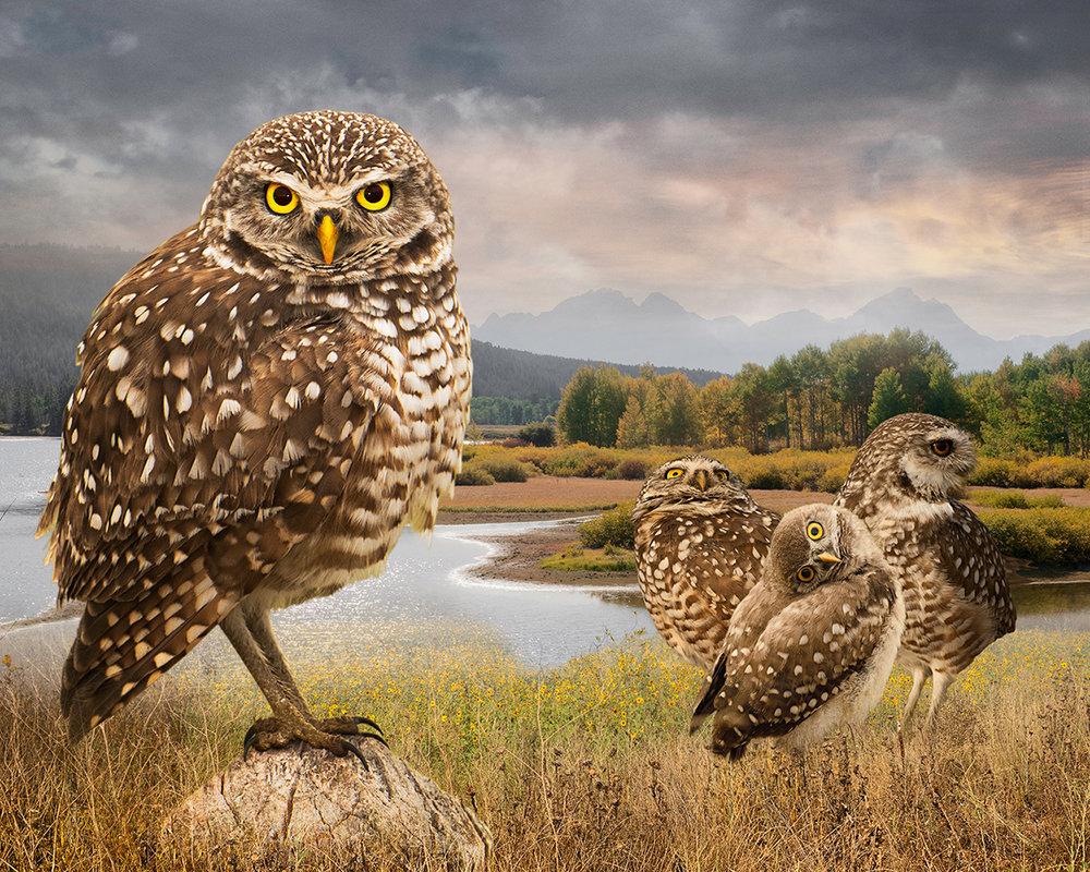 burrowing owls  ©2017