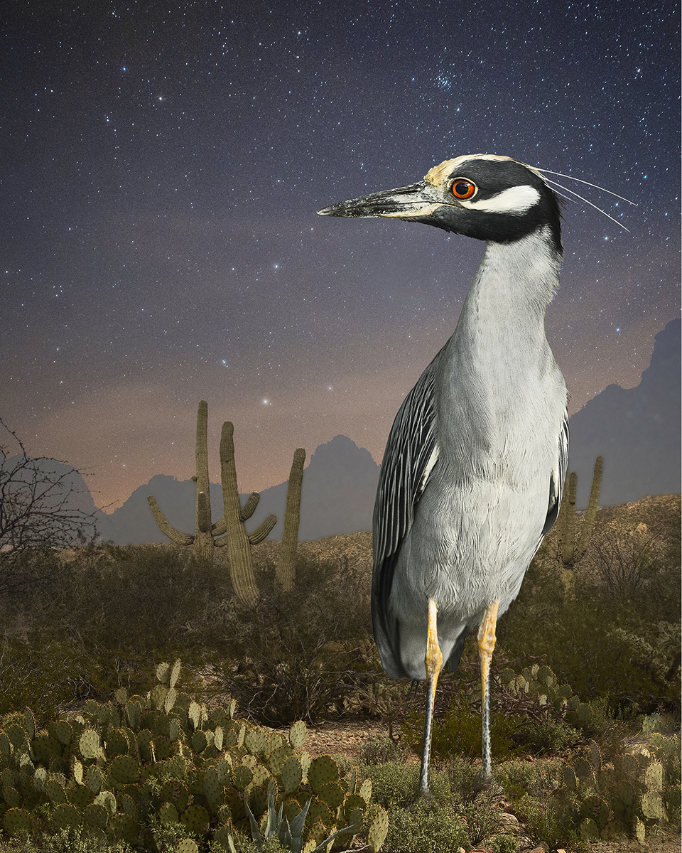 night heron in tucson  ©2015