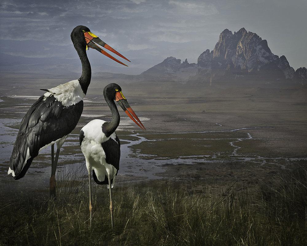 saddle-billed storks  ©2016