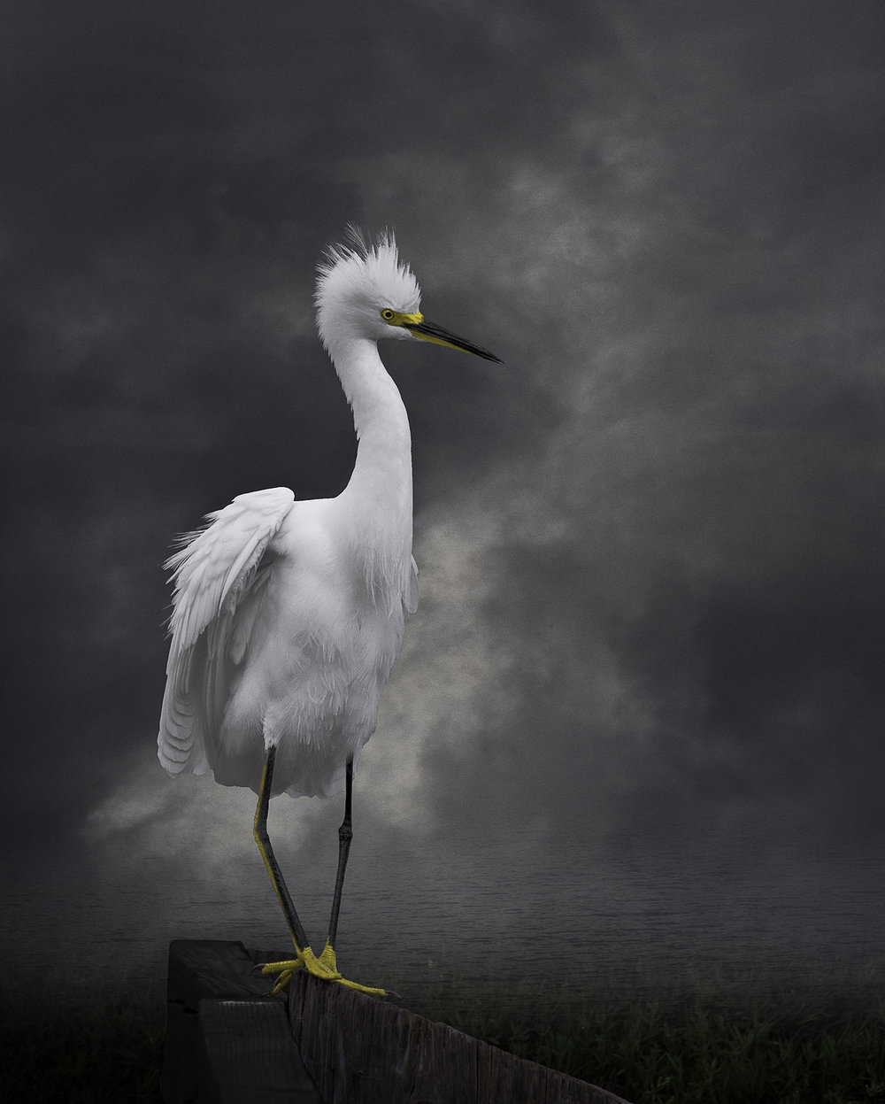 snowy egret V  ©2009
