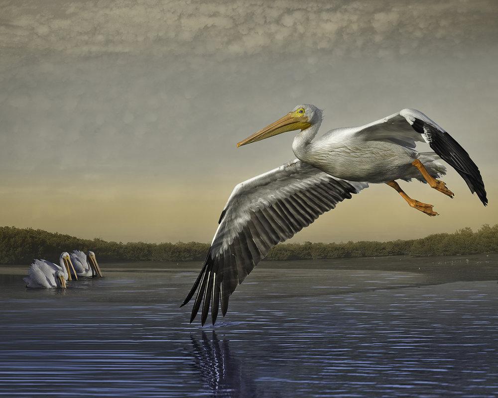 white pelicans at dawn ©2016