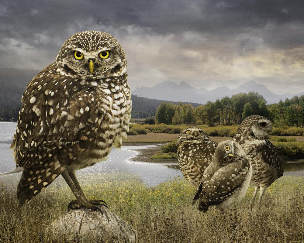 burrowing owls  ©2018