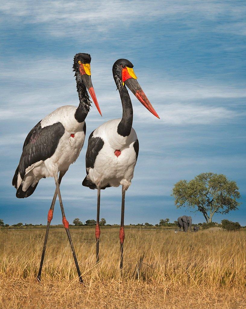 saddle-billed storks and elephants  ©2016